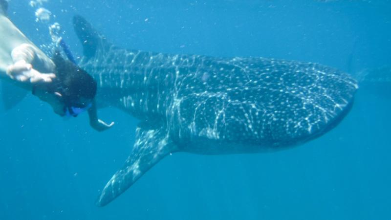 ジンベエザメと一緒に泳ぐ体験