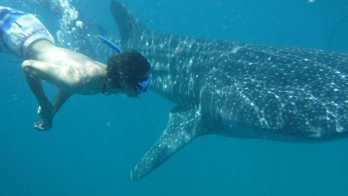 ジンベエザメと一緒に泳ぐ写真