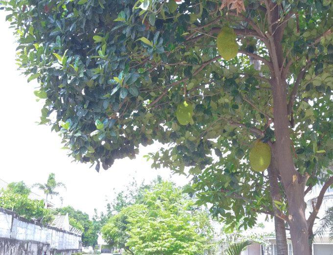 グヤバノの木と実がイメージできる画像