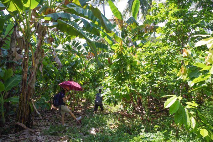 カカオ農園を進んでいく女性