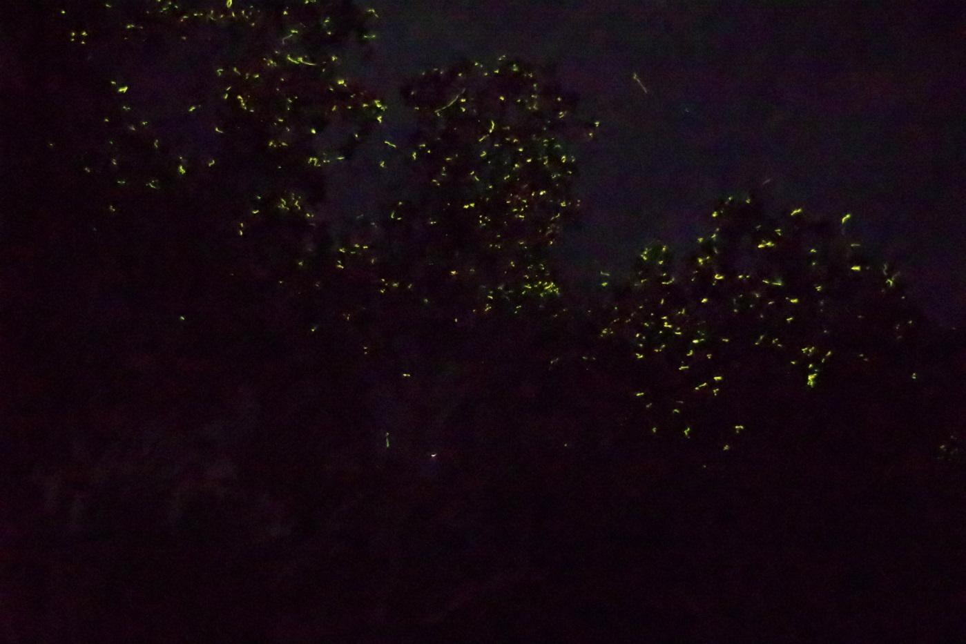ボホール島のアバタン川で見れるホタル